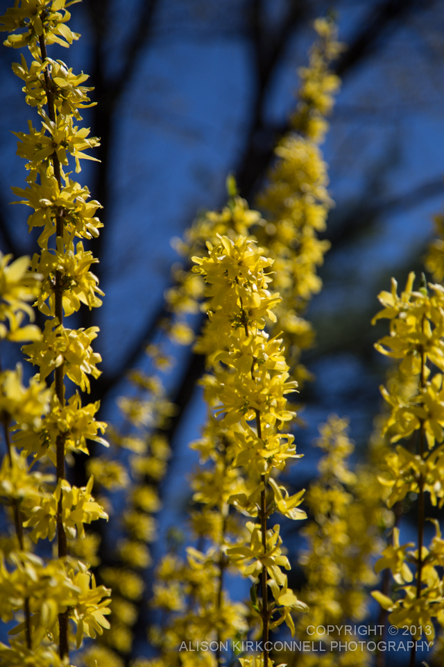 Forsythia in bloom - 1/2000 @4.0 105mm ISO100