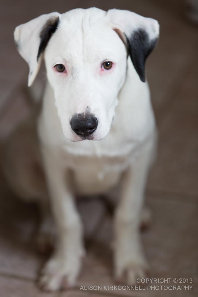 Dogo Argentino puppy portrait