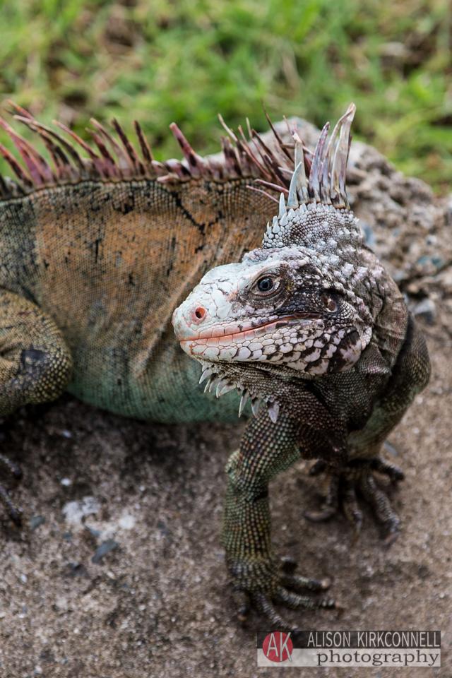 Iguana AKA Tiny Dragon