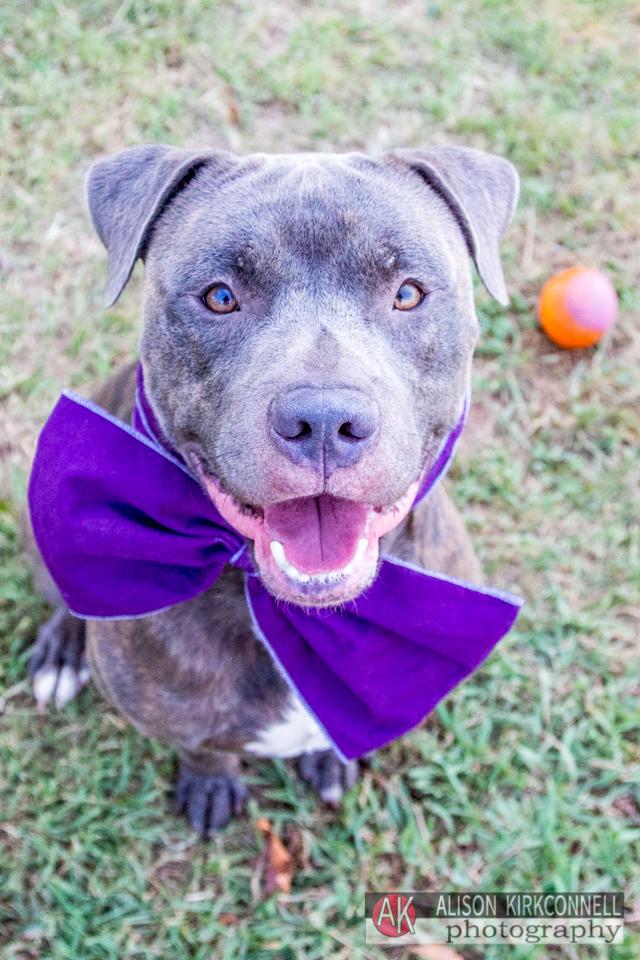 Shelter dog- blue nose pitbull