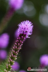 Blazing star flower