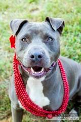 Shelter dog portrait- blue nose pitbull
